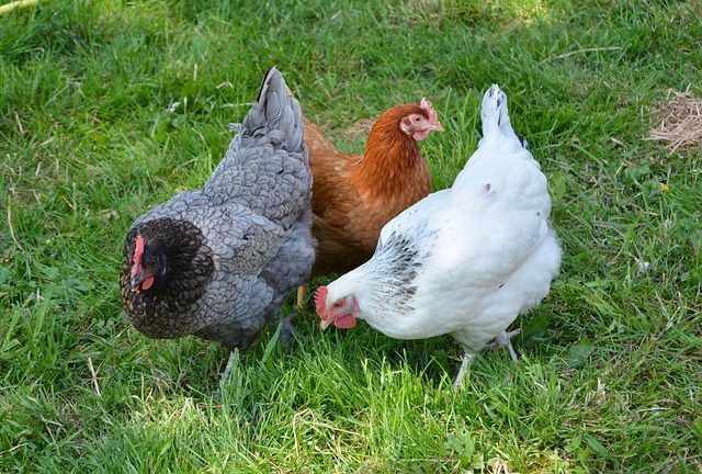 White, brown and grey hens.